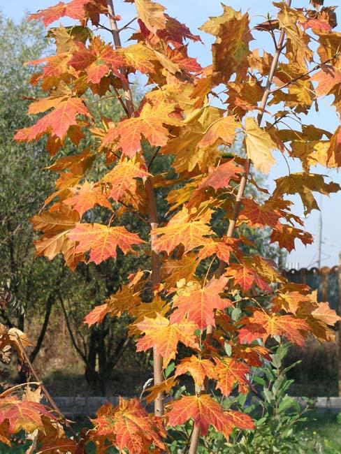 Осень в моем  городе Maple